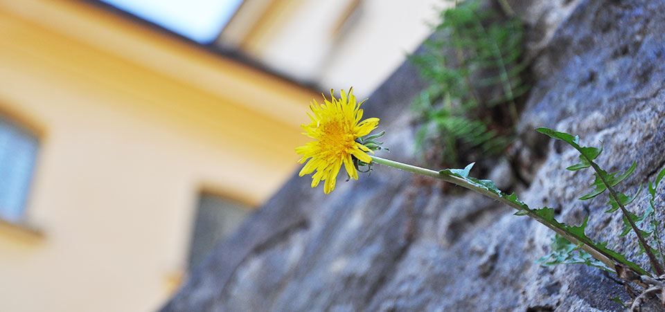 Blomma på mur  - Hållbarhet på Långholmen